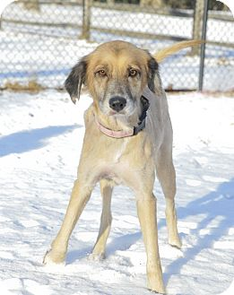 Labrador Retriever/Irish Wolfhound Mix Dog for adoption in Brooklyn, New York - Lovely Loki