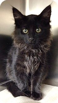 Domestic Mediumhair Kitten for adoption in Dublin, California - Taz