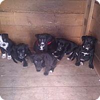 Adopt A Pet :: Puppies - Inglewood, CA