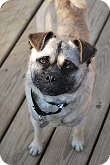 Pug Dog for adoption in Berea, Ohio - Frank