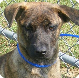 Black Mouth Cur Mix Puppy for adoption in Olive Branch, Mississippi - Nora