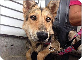 Shepherd (Unknown Type) Mix Dog for adoption in Woodlyn, Pennsylvania - Sheba