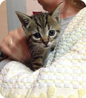 Domestic Shorthair Kitten for adoption in Plainville, Connecticut - Harley