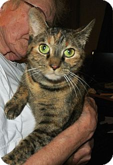 Domestic Shorthair Cat for adoption in Cleveland Heights, Ohio - Katrina~ Endless Love & Laughs
