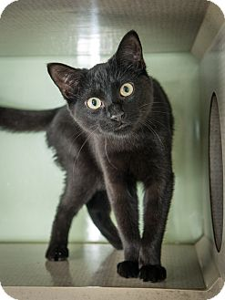 Domestic Shorthair Kitten for adoption in New York, New York - Arthur