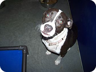 Pit Bull Terrier Mix Dog for adoption in Henderson, North Carolina - Maria