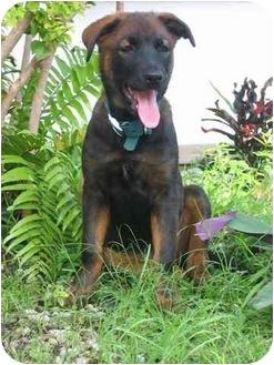 Labrador Retriever Mix Puppy for adoption in Miami Beach, Florida - Sheina,Fl