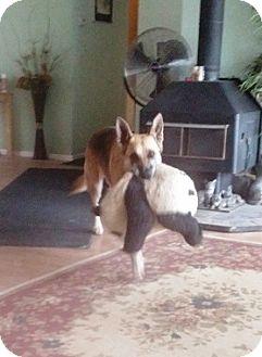 German Shepherd Dog Dog for adoption in Denver, Colorado - Zeus