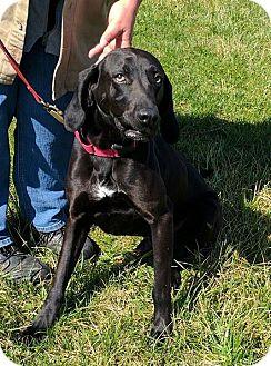 Plott Hound Dog for adoption in Lisbon, Ohio - Shadow