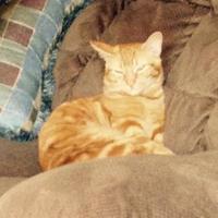 Adopt A Pet :: Tabby - Mesa, AZ