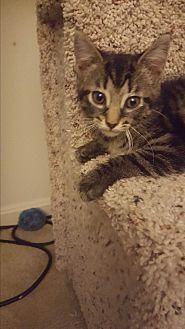 Domestic Shorthair Kitten for adoption in Covington, Kentucky - Lucy