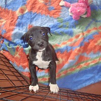 Adopt A Pet :: Cherub - Old Bridge, NJ