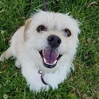 Border Terrier Mix Dog for adoption in Los Angeles, California - Quill