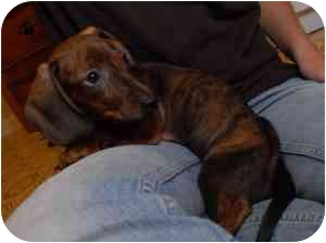 Dachshund Dog for adoption in College Station, Texas - Artemis