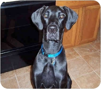 Great Dane Dog for adoption in Hanover, Maryland - Maddie
