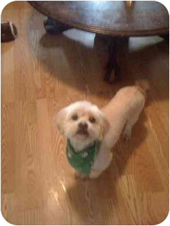 Lhasa Apso Mix Dog for adoption in Salem, Oregon - Appa