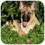 Photo 2 - German Shepherd Dog Dog for adoption in Los Angeles, California - Leilani von Graulich