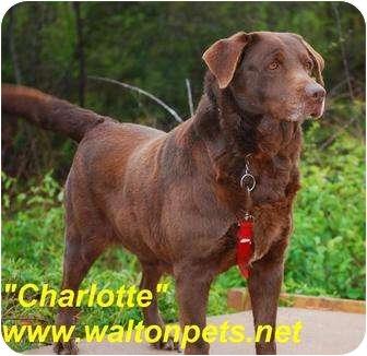 Labrador Retriever Mix Dog for adoption in Monroe, Georgia - Charlotte