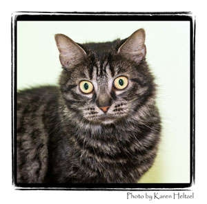 Domestic Shorthair Cat for adoption in Warren, Pennsylvania - Olive