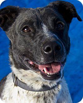 Border Collie/Labrador Retriever Mix Dog for adoption in Las Vegas, Nevada - Oreo aka Dixie ***