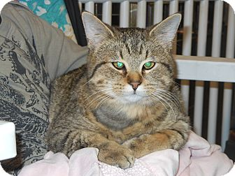 Domestic Shorthair Cat for adoption in Whiting, Indiana - Cubbie
