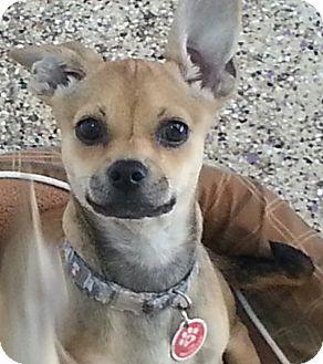 Chihuahua/Pug Mix Puppy for adoption in Thousand Oaks, California - Cocoa Puff