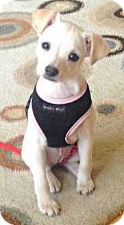 Toy Fox Terrier/Terrier (Unknown Type, Small) Mix Puppy for adoption in Boulder, Colorado - London