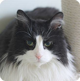 Domestic Longhair Cat for adoption in Chicago, Illinois - Joshua