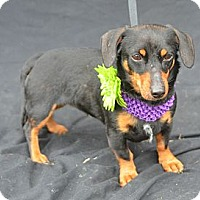 Adopt A Pet :: Layla - Plano, TX