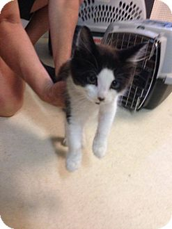 Domestic Shorthair Kitten for adoption in Lancaster, Massachusetts - Pepe