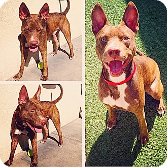 Pit Bull Terrier Mix Puppy for adoption in Pinellas Park, Florida - Vito