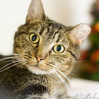 Domestic Shorthair Cat for adoption in Belton, Missouri - Mercy