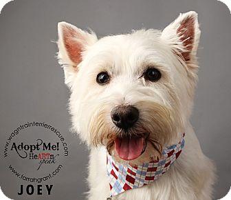 Westie, West Highland White Terrier Dog for adoption in Omaha, Nebraska - Joey-adoption pending