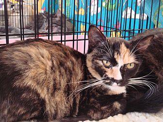 Domestic Shorthair Kitten for adoption in Sacramento, California - Tori M