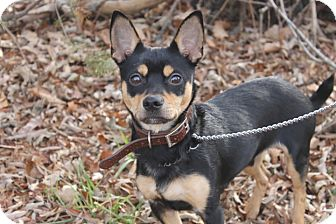 Chihuahua/Miniature Pinscher Mix Puppy for adoption in Waldorf, Maryland - Ricky
