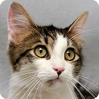 Domestic Shorthair Cat for adoption in Cary, North Carolina - Reno