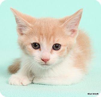 Domestic Shorthair Cat for adoption in Las Vegas, Nevada - Taylor