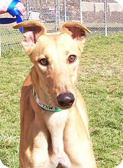 Greyhound Dog for adoption in Randleman, North Carolina - Millie