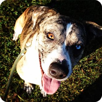 Catahoula Leopard Dog/Cattle Dog Mix Dog for adoption in Elmwood, Tennessee - Clara
