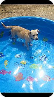 Jack Russell Terrier/Labrador Retriever Mix Puppy for adoption in Randolph, Massachusetts - Adorabel Amy