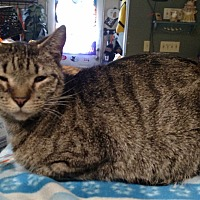 Domestic Shorthair Cat for adoption in Benton, Pennsylvania - Stubbs