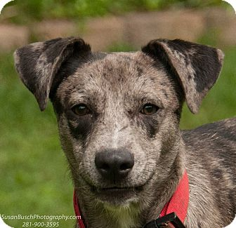 Catahoula Leopard Dog Mix Dog for adoption in Seattle, Washington - Frankie