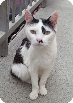 Domestic Shorthair Cat for adoption in San Pablo, California - MISTY