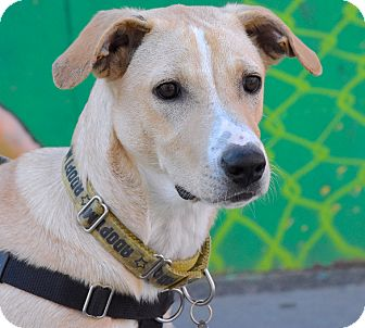 Labrador Retriever Mix Puppy for adoption in Jersey City, New Jersey - Marc Maron