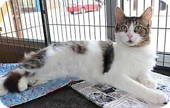 Domestic Shorthair Cat for adoption in New Orleans, Louisiana - Dustine