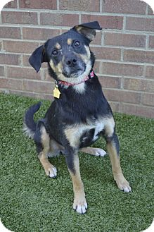 Terrier (Unknown Type, Small)/Beagle Mix Dog for adoption in Germantown, Tennessee - Webster