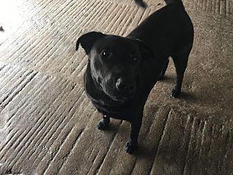 Labrador Retriever Mix Dog for adoption in Cuero, Texas - Pistol