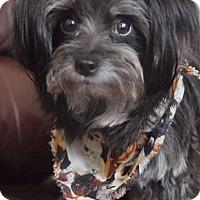 Yorkie, Yorkshire Terrier/Maltese Mix Dog for adoption in Boca Raton, Florida - Sawyer