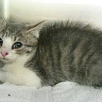 Adopt A Pet :: Chaos - Queenstown, MD