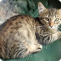 Adopt A Pet :: Marmalade - Tampa, FL